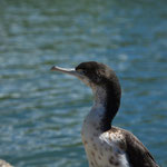 Kormoran beim Lake Wakatipu