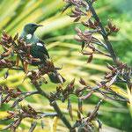 hier sieht man einen Tui (Prosthemadera novaeseelandiae)