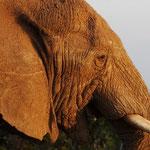 Addo Elefant