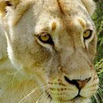 Löwe im Inkwenkwezi Game Reserve