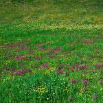 blühende Alpenwiesen