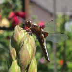 Libelle - ein Wunder der Natur