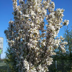 Prunus serrulata 'Amanogawa' - Säulen-Zierkirsche