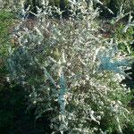 Spirea 'Grefsheim' - Rispenspiere