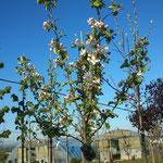 Malus i.S. - Apfel