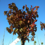 Acer platanoides 'Globosum' - Kugel-Ahorn