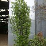 Carpinus betulus 'Fastigiata' - Säulen - Hainbuche