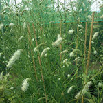Sanguisorba tenuifolia