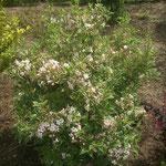 Weigela florida nana 'Variegata' - Gelbbunte Zwerg-Weigelie