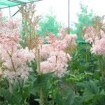 Filipendula rubra 'Venusta' - Garten-Mädesüß
