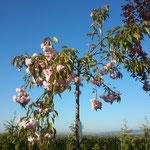 Prunus serrulata 'Kiku-Shidare-Sakura' - Hängende Nelken-Kirsche