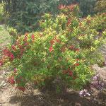 Weigela 'Bristol Ruby' - Rote Gartenweigelie
