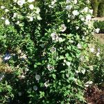 Hibiscus syriacus - Hibiskus