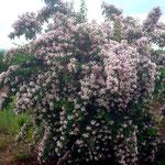 Kolkwitzia amabilis - Perlmuttstrauch