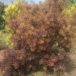 Cotinus coggygria 'Royal Purple' - Purpur-Perückenstrauch