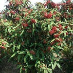 Viburnum rhytidophyllum - Immergrüner Schneeball