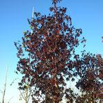 Acer platanoides 'Faasen's Black' - Schwarz-Ahorn