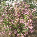 Weigela florida - Rosa Gartenweigelie