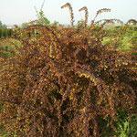 Berberis Thunbergii 'Atropurpurea' - Kleine Blutberberitze