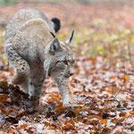 Lynx verstopt zijn eten