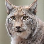 Portret van een lynx