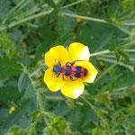 Roter Bienenkäfer