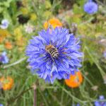 Honigbiene auf einer Kornblume