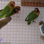 Grupo voladera nigrigenis