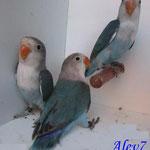 Fischers azul/ino