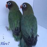 Nigrigenis verde y jade