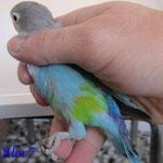 Fischer Azul halfsider