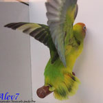 Nigrigenis verde arlequin