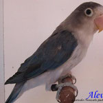 Fischer Euwing azul D