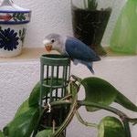 Cobalto papillero
