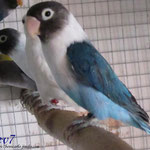 Personata azul