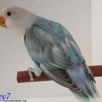 Fischer Arlequin azul
