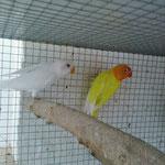 Albino y lutino