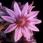 Blüte eines Hybriden zwischen S. riccii (S. tectorum) × S. arachnoideum, Foto; Mariangela Costanzo