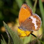 Foto: Thomas Fittkau: Coenonympha arcania - Weißbindiges Wiesenvögelchen