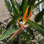 bird of paradise ( flower)