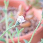 セネシオ ドルフィンネックレス 花
