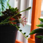 おまけ:グリーンネックレスの花