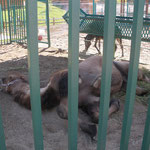 Верблюд устал...