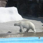 Несмотря на жару, белый медведь прохаживался перед зрителями. Наверное, проточная вода в его бассейне охлаждается.