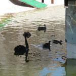 Черные лебеди очень красивы.