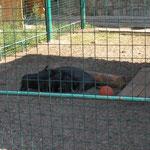 детеныши минипига (карликовой свиньи) пристроились около мамы - обед!