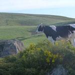 Les génisses aussi montent en altitude pendant l'été :cette photo à été prise en dessous du col de la Croix St Robert