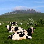 Vaches dans la montagne de Sausse