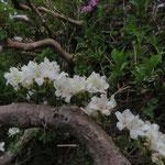 白いミヤマキリシマ