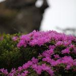 ミヤマキリシマ(黒岩山)